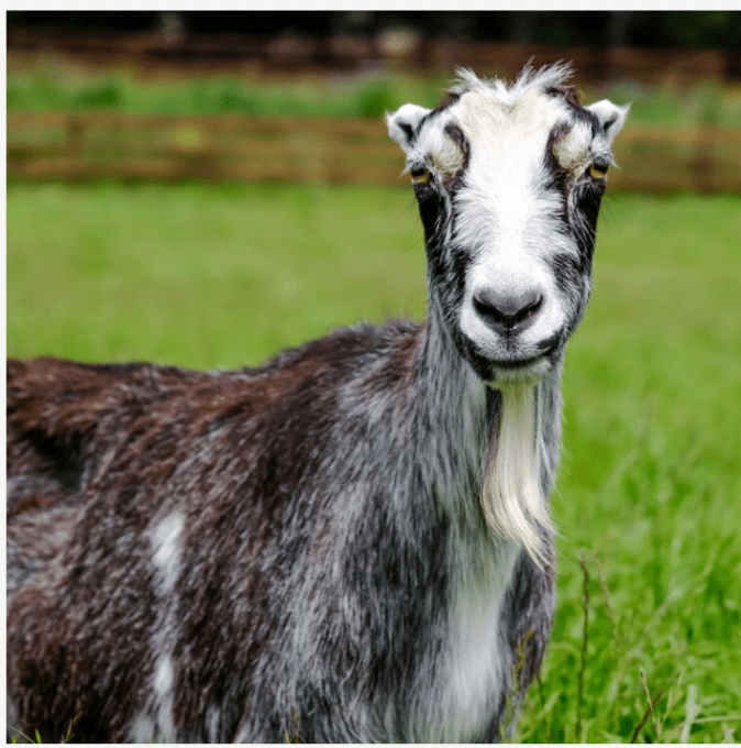 So many great characters to book for your next Zoom call, like Nibblets the goat who has found a home at Sweet Farm.