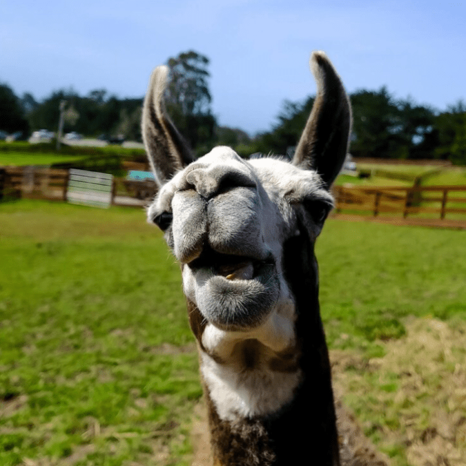 Sweet Farm says Paco the llama came to them after years of living at a horse farm. The farm was closing and a rain storm had destroyed his shelter.