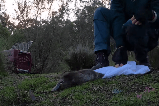 Looks like this healed up platypus was more than ready to head back into the wild at Tidbinbilla Nature Reserve in Australia. See the video release below.