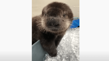 Joey the sea otter pup munches on tiny ice cubes.