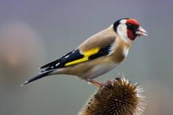 Goldfinch_