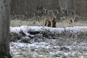 wolves-siberia