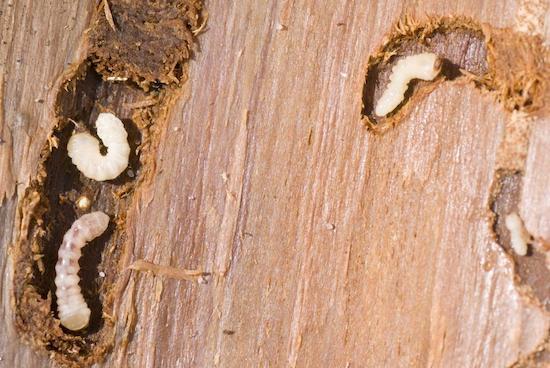 Woodborer