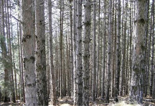 Οι κορμοί των δένδρων μετά από 55 χρόνια. Ορατή η έλλειψη αραιώσεων. Φωτ. Αρχείο Α. Κατσιμάνη