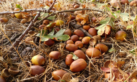 acorn-cover