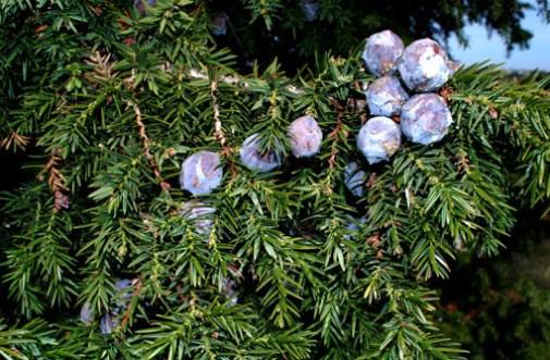 'Αρκευθος η δρυπώδης (Juniperus drupacea)