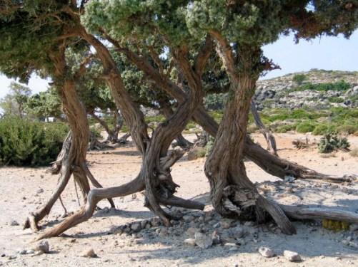 Παράλια Άρκευθος (Juniperus oxycedrus subsp. Macrocarpa) στο Ελαφονήσι Κρήτης