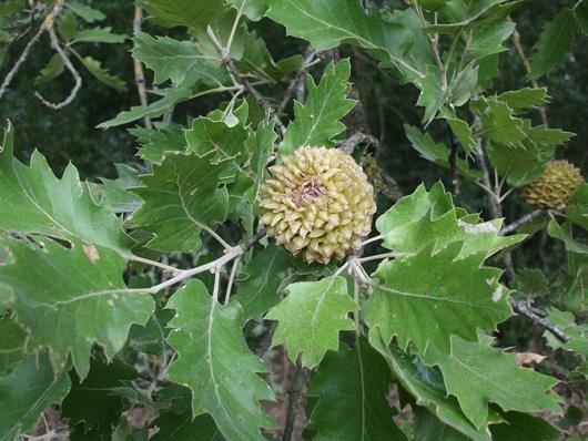 Quercus4
