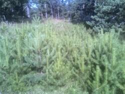 Επιτυχία αναγέννησης Pinus silvestris