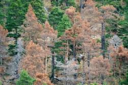 Νεκρώσεις Pinus silvestris στα Πιέρια