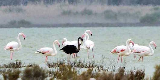 Mauro flamingko