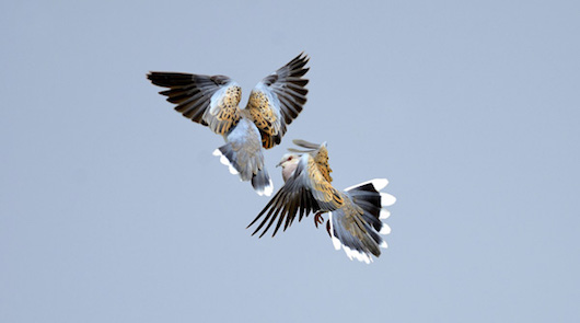 Turtle Doves Streptopelia turtur fighting Norfolk June