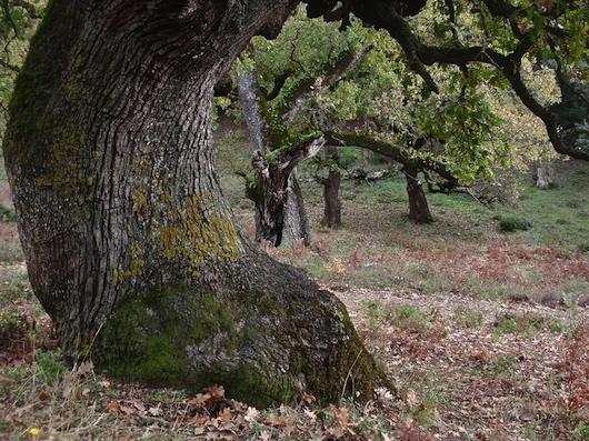 Μνημειακές δρύες στο δάσος Ξηρομέρου Αιτωλοακαρνανίας (φωτογραφία: Απόστολος Τζογάνης).