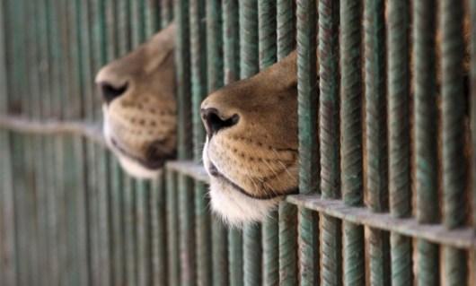 lion-muzzles