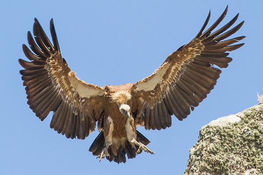 Griffon-Vulture