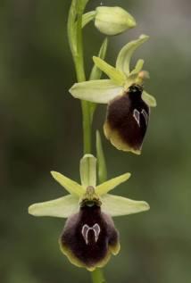 Ophrys_climacis