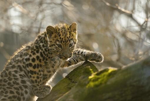 leopard-primary