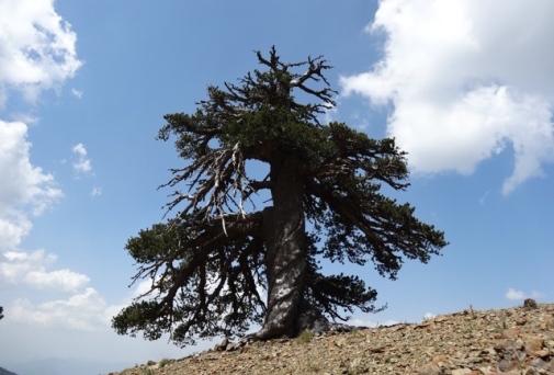 Pinus heldreichii_peuko_mathousalas_pindos