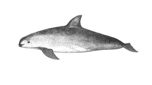 vaquita-blank-1021x576