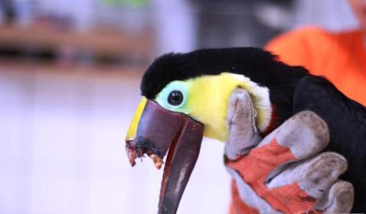 toucans-beak