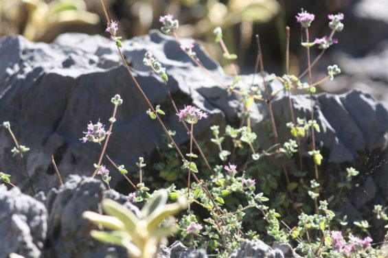 or microphyllum 3 min e1505729006879