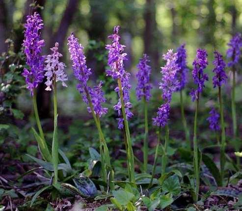 1b) Orchis maculata.jpg