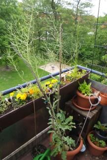 Kohlrabi mit langem Stängel an dem sich Samenstände bilden