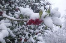 Rote Beeren an einem Strauch von Schnee bedeckt