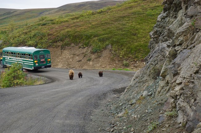 Grizzlies in Denali National Park