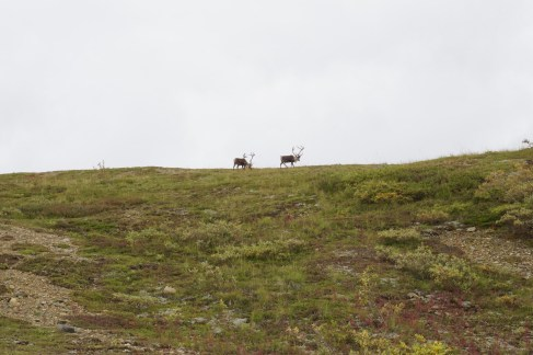 Caribou in Denali National Park