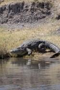 Standing Crocodile