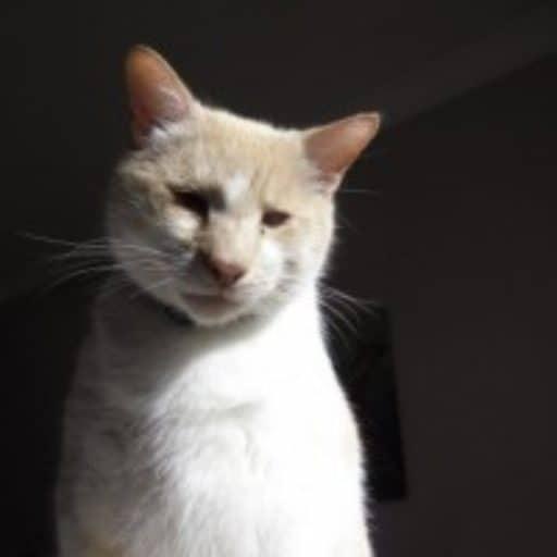 Founder Cat Dash Kitten