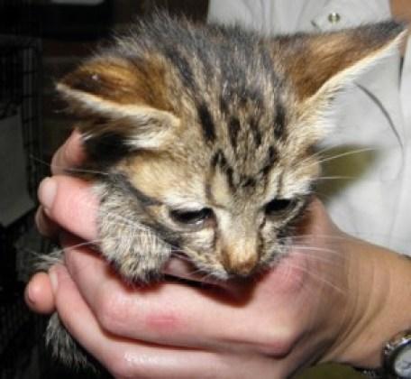Peyton Kitten at Risk