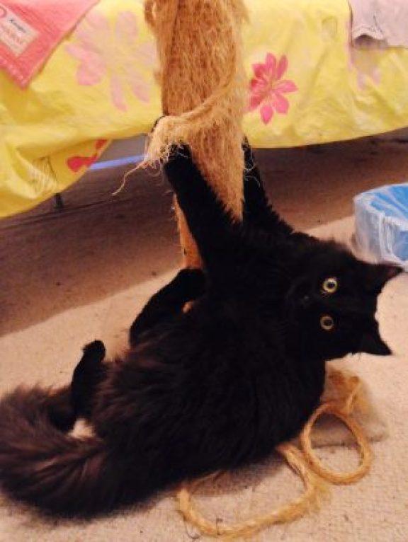 Meet Phoebe the Long Haired Kitten new to the Dash Kitten Blog