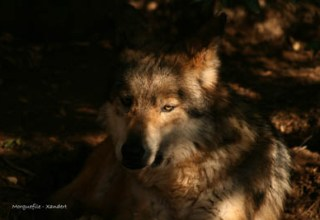 Red Wolf Image