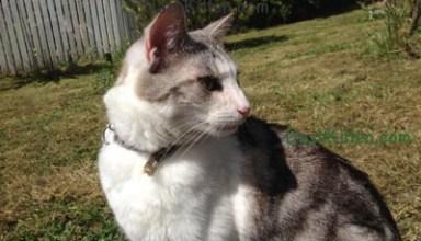 Dash Kitten Silver