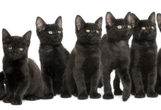 Group of Black kittens sitting together, 2 months old, isolated on white