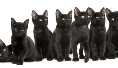 Black kittens sitting