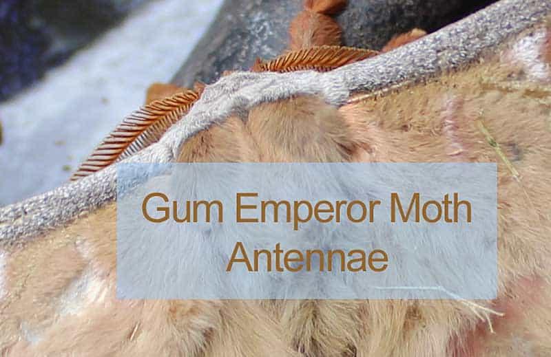 Gum Emperor Moth