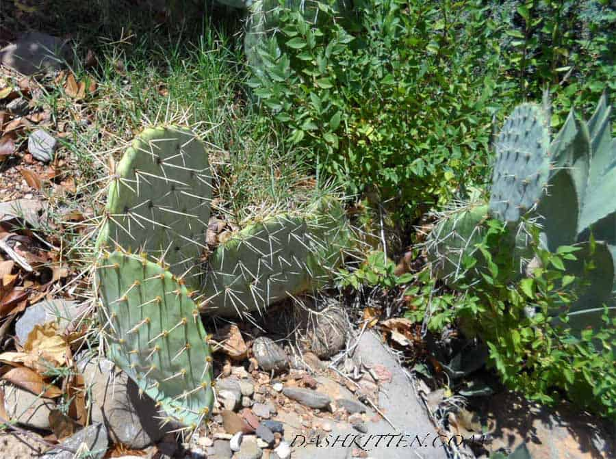 Cactus sedona