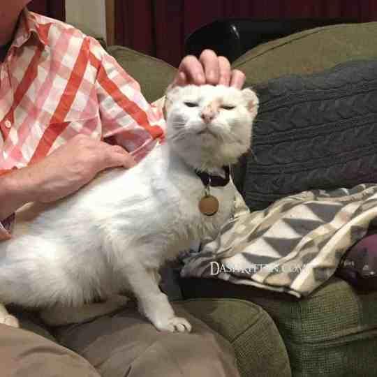 white cat on man's lap