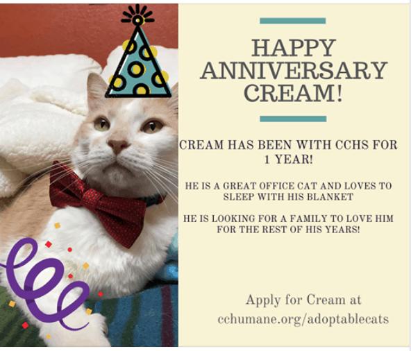 Cream coloured cat photograph for Adopt a Senior Pet Month.