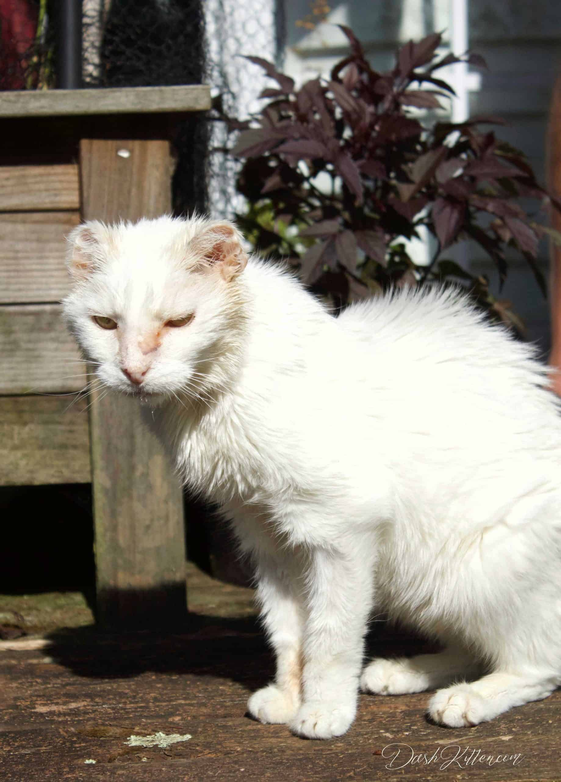white cat in sunshine. Taken with a 50mm Canon nifty fifty lens.