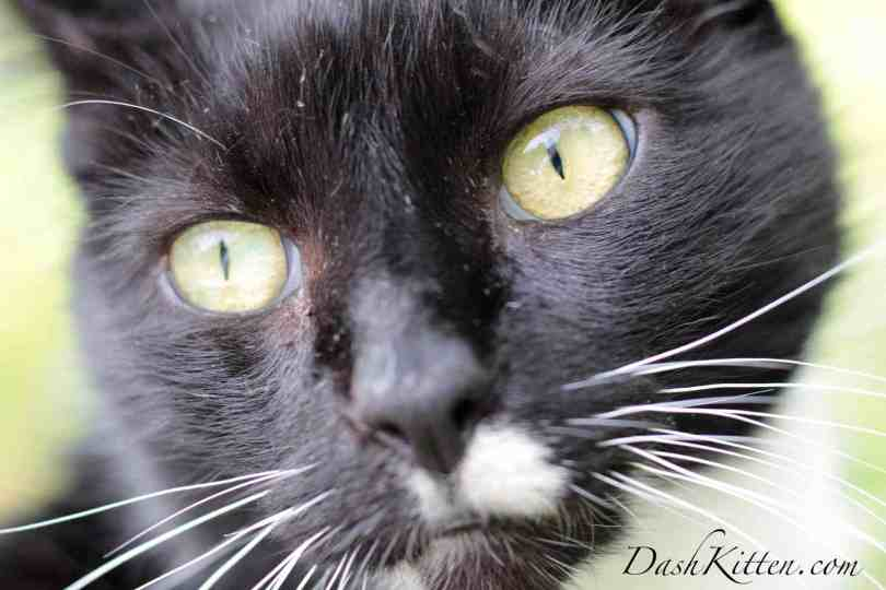 Spectacular closeups of a cat's face can be achieved with a 50mm lens.