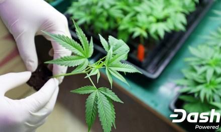 Pesquisa Sobre Cannabis Financiada pela Dash quer Melhorar Rastreamento dos Produtos