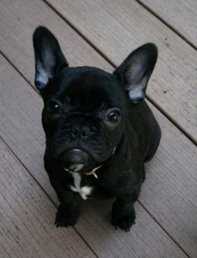 Monte the French Bulldog