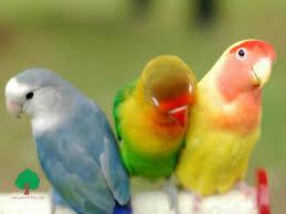 three_parrot