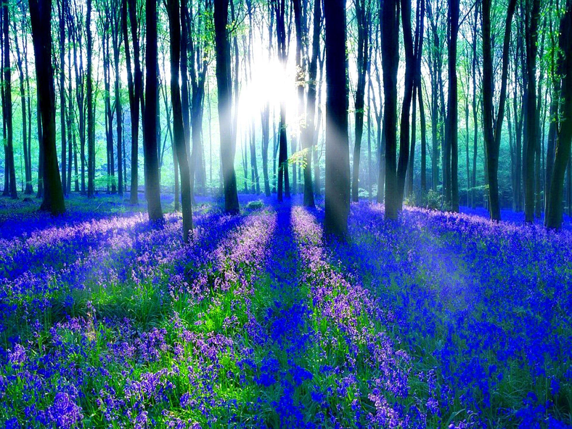 Bluebell Wood HD desktop wallpaper : Widescreen : High Definition : Fullscreen