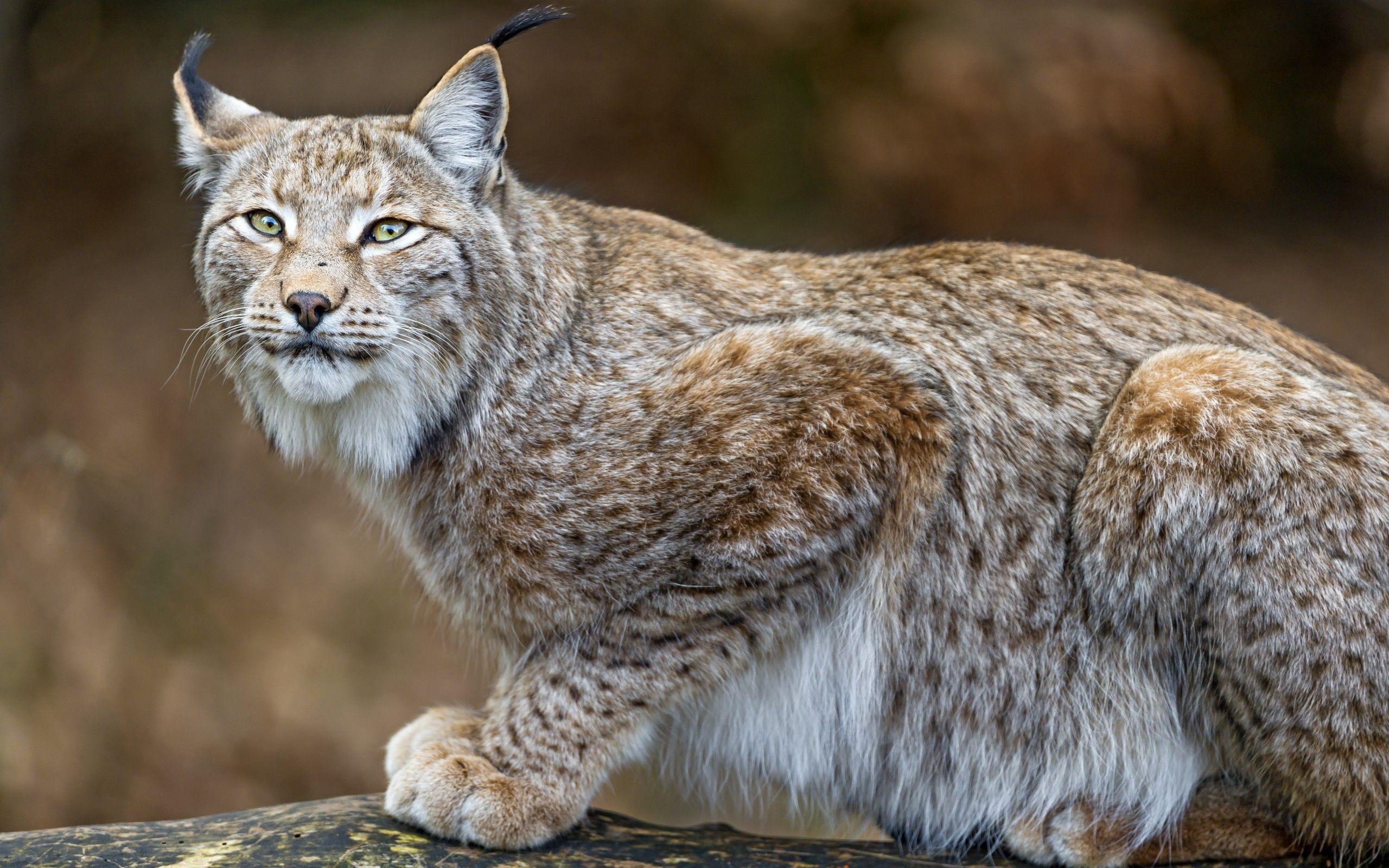 Lynx getting ready to jump HD desktop wallpaper : Widescreen : High Definition : Fullscreen