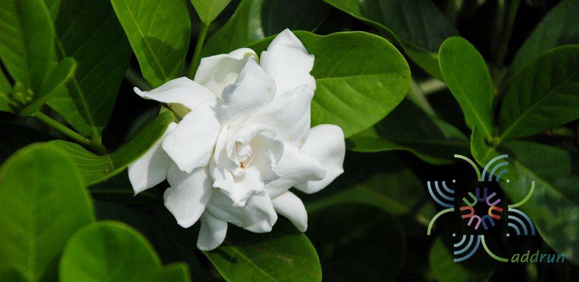 พุดซ้อน Gardenia augusta (L.) Merr.